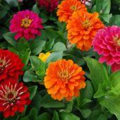 Virágok - egynyári