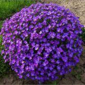 Virágok - kétnyári és évelő