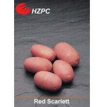 Red Scarlett burgonya minigumó 100 db